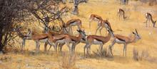 The Thomson Gazelle (Eudorcas ...