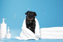 Cute Black Petit Brabancon Dog...