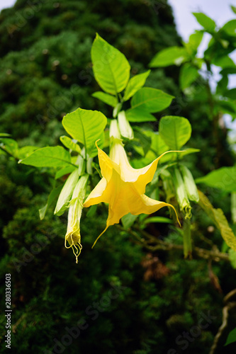 A yellow Angel's Trumpet flowering plant (brugmansia)