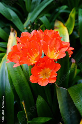 Orange clivia plant with green foliage