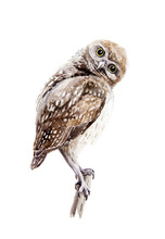 Brown Owl Watercolor Illustrat...