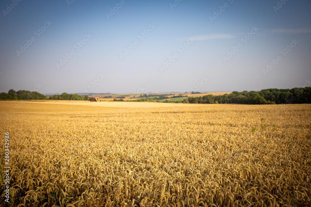 Fototapety, obrazy: champ  de blé