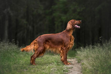 Irish Setter In Summer Forest
