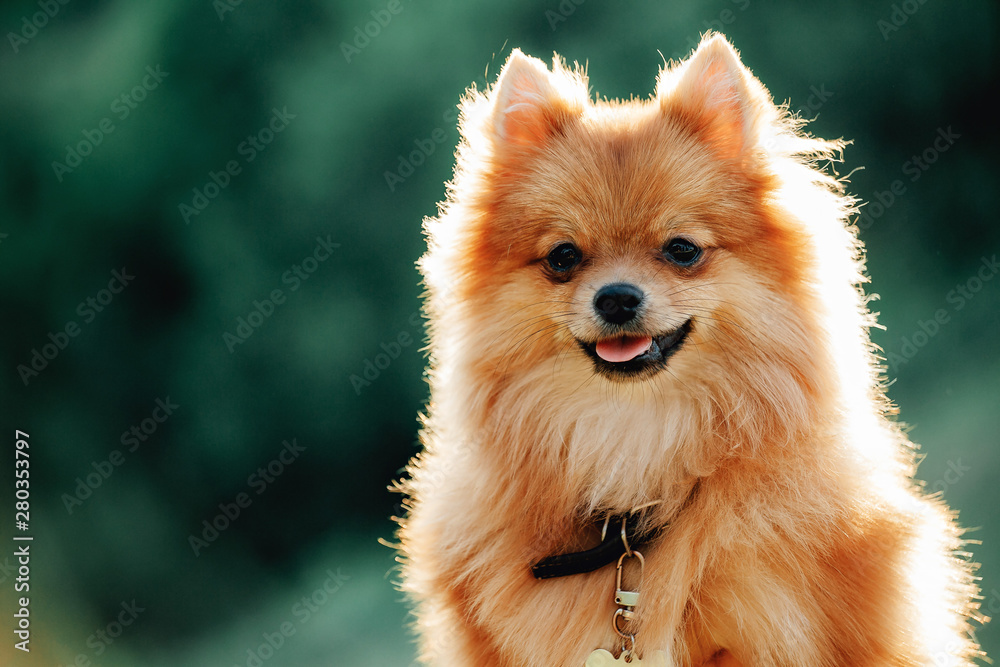 Fototapety, obrazy: Pomeranian dog on a walk. Dog outdoor. Beautiful dog