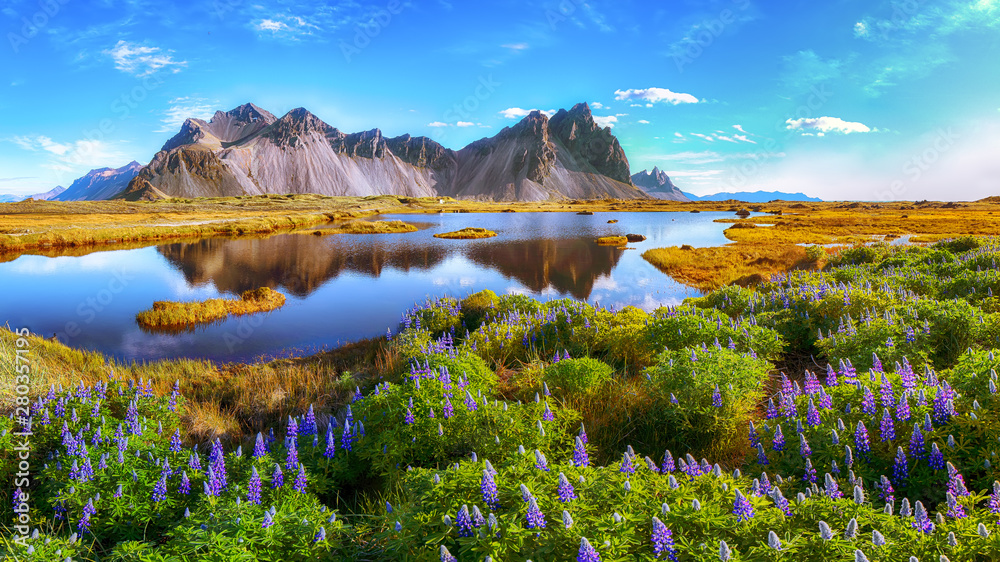 Fototapety, obrazy: Beautiful sunny day and lupine flowers on Stokksnes cape in Iceland.