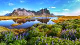 Piękny słoneczny dzień i kwiaty łubinu na przylądku Stokksnes na Islandii.