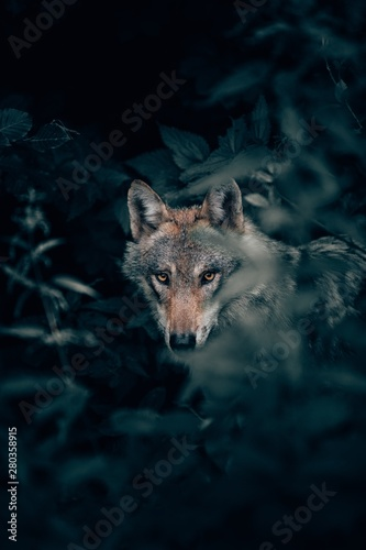 Vertical closeup selective focus shot of a wild beautiful grey wolf in a forest Fototapeta