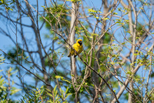 Southern Masked Weaver (Ploceus Velatus) In South Africa