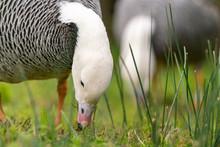 Emperor Goose (Anser Canagica)