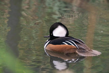 Hooded Merganser Duck (Lophodytes Cucullatus)