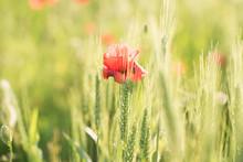 Red Poppy In A Green Crop Wheat Field
