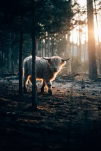 Vertical Shot Of A Beautiful Wild White Horned Yak Walking In A Dark Forest With Sunlight On Right
