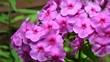 canvas print picture - Purple flowers phlox paniculata (fall, garden, perennial or summer phlox). Flowering branch of purple phlox in the summer garden. Panoramic background