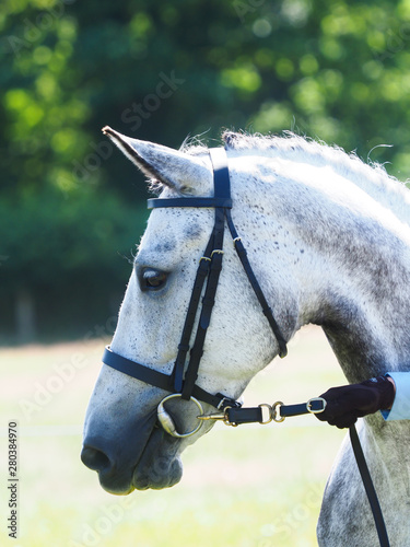 Grey Horse in the Show Ring