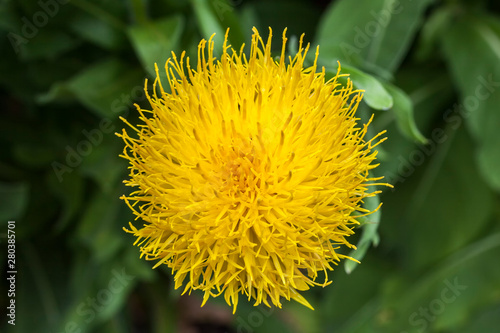 Centaurea Macrocephala A Yellow Thistle Like Flower Plant Commonly Known As Bighead Knapweed Armenian Basket Flower And Globe Centaurea Buy This Stock Photo And Explore Similar Images At Adobe Stock
