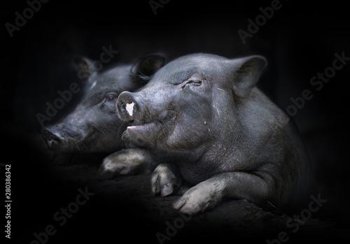 Foto op Aluminium Buffel Two Cute Black Pig (piggy).