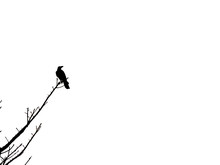 Crow Perched On The  Dry Branch