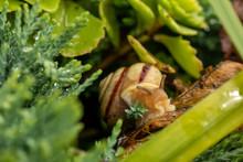 Closeup Of A Snail Among Plant...