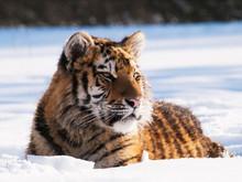 Siberian Tiger - Panthera Tigr...