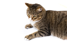 Studio Shot Of An Adorable Gray And Brown Tabby Cat Lying On White Background Top Isolated