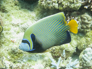 Fototapeta na wymiar The emperor angelfish (Pomacanthus imperator), a reef fish in the Red Sea off the coast of Yanbu in Saudi Arabia
