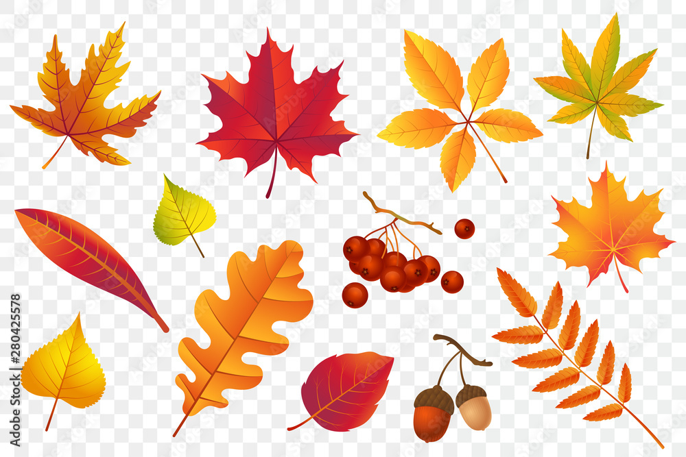 Fototapety, obrazy: Autumn falling leaves isolated on transparent background. Yellow foliage collection. Rowan,oak, maple, birch and acorns. Colorful autumn leaf set. Vector illustration.