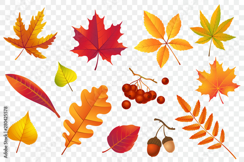 Fototapeta Autumn falling leaves isolated on transparent background. Yellow foliage collection. Rowan,oak, maple, birch and acorns. Colorful autumn leaf set. Vector illustration. obraz