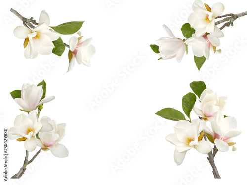 Bloomimg white magnolia flower isolated on white background - 280429930