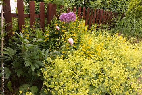 Obraz na płótnie Rosa Pfingstrosen, Paeonia, Zierlauch, Allium und Frauenmantel, Alchemilla mollis blühen im Vorgarten