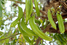 Carob Tree With Bunch Of Green...