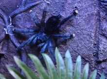 A Beautiful Black Tarantula On A Stone