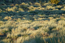 Backlit Sagebrush In The High Desert Of Eastern Sierra Mountains. Selective Focus On Middle Area Of The Brush, Useful For Abstract Backgrounds