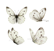 Set - Four Beautiful White Butterflies Pieris Napi With Black Spots And Streaks In Different Poses Fluttering, Isolated On A White Background.
