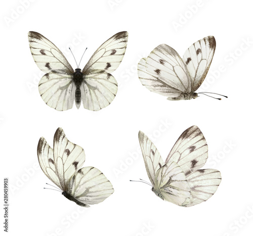Fotografia Set - four beautiful white butterflies Pieris napi with black spots and streaks in different poses fluttering, isolated on a white background