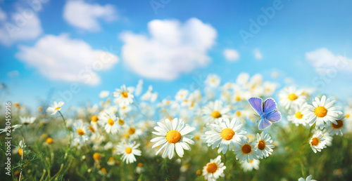Chamomiles daisies macro in summer spring field on background blue sky with sunshine and a flying butterfly , panoramic view. Summer natural landscape with copy space.