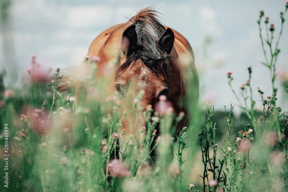 Fototapeta Beautiful red horse grazing in a meadow