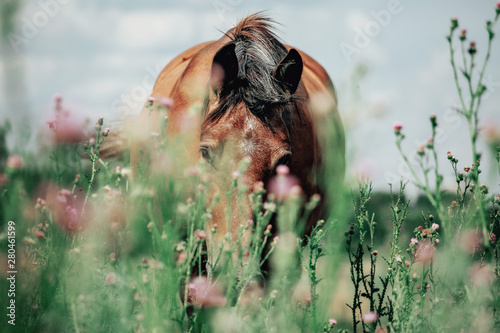 Autocollant pour porte Chevaux Beautiful red horse grazing in a meadow