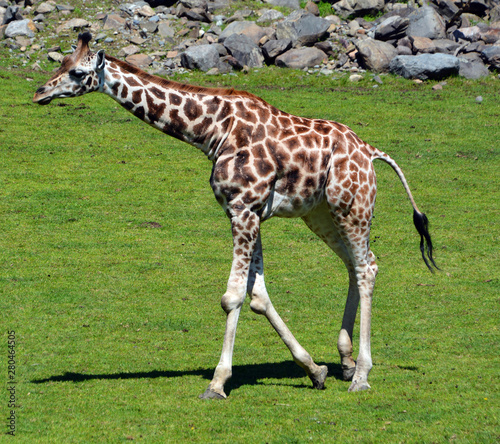The giraffe close up (Giraffa camelopardalis) is an African even-toed ungulate mammal, the tallest of all extant land-living animal species, and the largest ruminant Wallpaper Mural