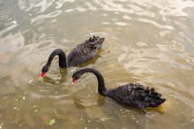 Two Black Swans Floating On A ...