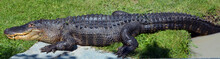 An Alligator Is A Crocodilian ...