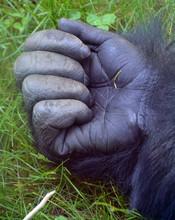 Gorillas Hand Are Ground-dwell...