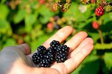 Harvesting Blackberries, Black...