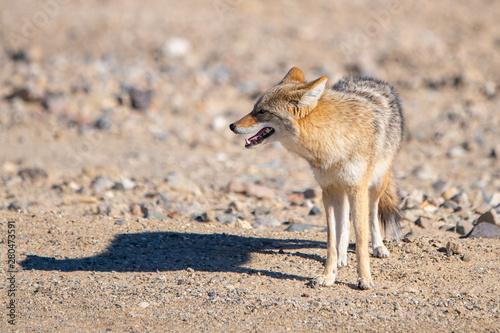 Desert Coyote, Death Valley National Park Fototapete