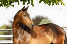 Pferdeportrait Auf Der Weide