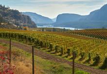 Okanagan Valley Vineyards Autumn. Hills Full Of Vineyards In Autumn In The Okanagan Valley, British Columbia, Canada.