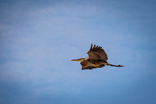 A Great Blue Heron In Flight With A Cloudy Sky Backdrop