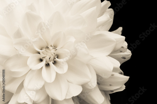 Details of blooming white dahlia fresh flower macro photography. Light sepia monochromatic photo emphasizing texture, contrast and intricate floral patterns isolated in a dark black background.