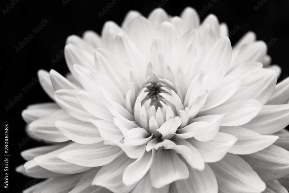 Fototapeta Details of blooming white dahlia fresh flower macro photography. Black and white photo emphasizing texture, contrast and intricate floral patterns isolated in a dark black background.