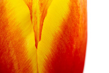 Abstract Details Of Red, Yellow And Orange Tulip Flower Petals In V Shape Under High Magnification Close-up Macro Photo With Shallow Depth Of Field On A White Background On The Right.