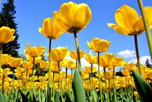 Charming Yellow Tulips Bloom